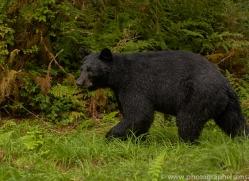 black-bears-copyright-photographers-on-safari-com-7728