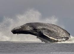 humpback-whales-copyright-photographers-on-safari-com-7734