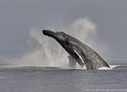 humpback-whales-copyright-photographers-on-safari-com-7735