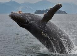 humpback-whales-copyright-photographers-on-safari-com-7740