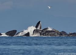 humpback-whales-copyright-photographers-on-safari-com-7752