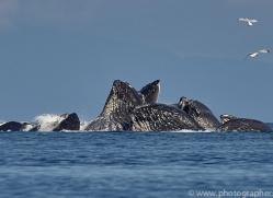 humpback-whales-copyright-photographers-on-safari-com-7753