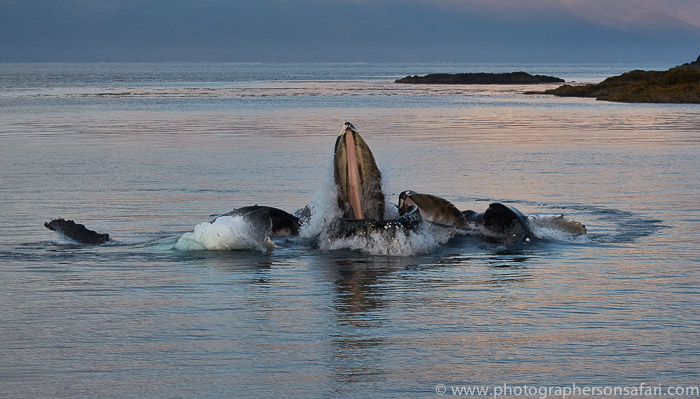 humpback-whales-copyright-photographers-on-safari-com-7746