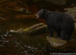 black-bears-copyright-photographers-on-safari-com-7724