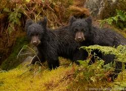 black-bears-copyright-photographers-on-safari-com-7725