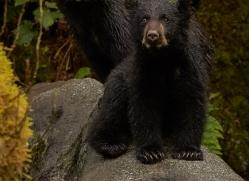 black-bears-copyright-photographers-on-safari-com-7726