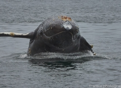 humpback-whales-copyright-photographers-on-safari-com-7737