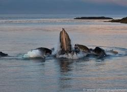 humpback-whales-copyright-photographers-on-safari-com-7746