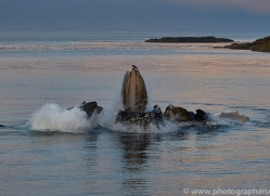 humpback-whales-copyright-photographers-on-safari-com-7747