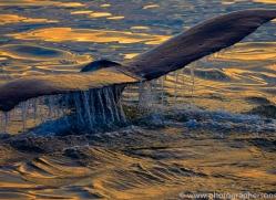 humpback-whales-copyright-photographers-on-safari-com-7748
