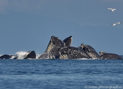 humpback-whales-copyright-photographers-on-safari-com-7753