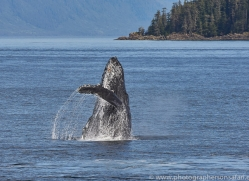 humpback-whales-copyright-photographers-on-safari-com-7770