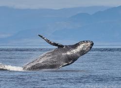 humpback-whales-copyright-photographers-on-safari-com-7772