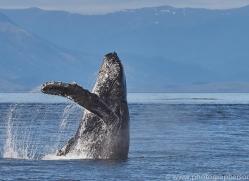 humpback-whales-copyright-photographers-on-safari-com-7773