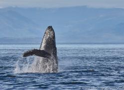 humpback-whales-copyright-photographers-on-safari-com-7775