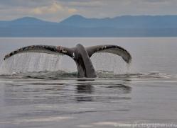 humpback-whales-copyright-photographers-on-safari-com-7778