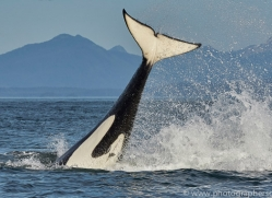 killer-whale-copyright-photographers-on-safari-com-7801