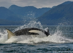 killer-whale-copyright-photographers-on-safari-com-7803