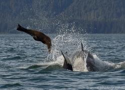 killer-whale-copyright-photographers-on-safari-com-7808