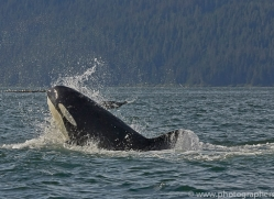 killer-whale-copyright-photographers-on-safari-com-7810
