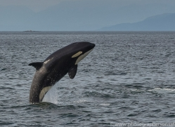 killer-whale-copyright-photographers-on-safari-com-7811