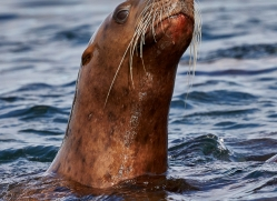sea-lion-copyright-photographers-on-safari-com-7814