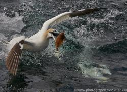 Gannet 2014-37copyright-photographers-on-safari-com