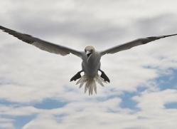 Gannet 2014-40copyright-photographers-on-safari-com