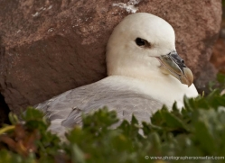 fulmar-350-copyright-photographers-on-safari-com