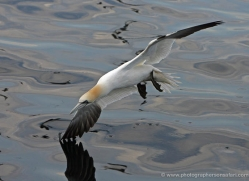 gannet-bass-rock-355-copyright-photographers-on-safari-com