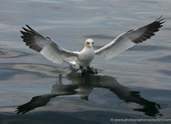 gannet-bass-rock-359-copyright-photographers-on-safari-com
