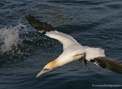 gannet-bass-rock-364-copyright-photographers-on-safari-com