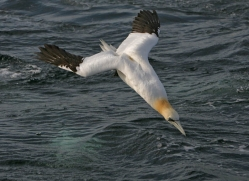 gannet-bass-rock-365-copyright-photographers-on-safari-com