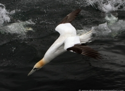 gannet-bass-rock-368-copyright-photographers-on-safari-com