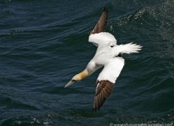 gannet-bass-rock-373-copyright-photographers-on-safari-com