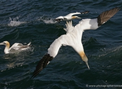 gannet-bass-rock-374-copyright-photographers-on-safari-com