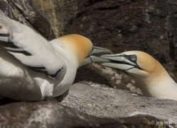 gannet-bass-rock-376-copyright-photographers-on-safari-com