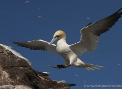 gannet-bass-rock-380-copyright-photographers-on-safari-com
