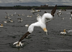 gannet-bass-rock-384-copyright-photographers-on-safari-com