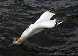 gannet-bass-rock-387-copyright-photographers-on-safari-com