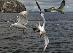 gannet-bass-rock-389-copyright-photographers-on-safari-com
