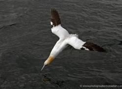 gannet-bass-rock-391-copyright-photographers-on-safari-com