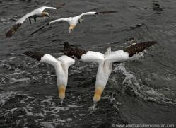 gannet-bass-rock-392-copyright-photographers-on-safari-com