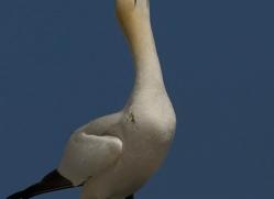 gannet-bass-rock-394-copyright-photographers-on-safari-com