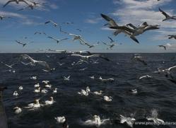 gannet-bass-rock-398-copyright-photographers-on-safari-com