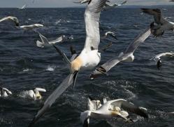 gannet-bass-rock-399-copyright-photographers-on-safari-com