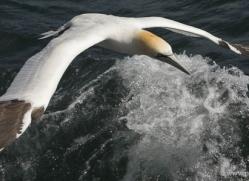 gannet-bass-rock-400-copyright-photographers-on-safari-com