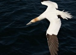 gannet-bass-rock-401-copyright-photographers-on-safari-com