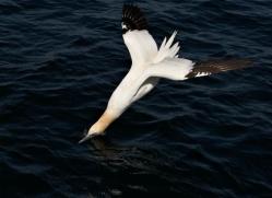 gannet-bass-rock-404-copyright-photographers-on-safari-com