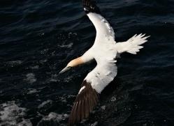 gannet-bass-rock-406-copyright-photographers-on-safari-com